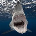 Dent de requin Mako