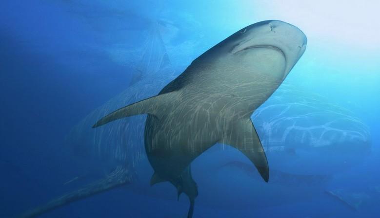 Pendentif dent de requin tigre en bijoux
